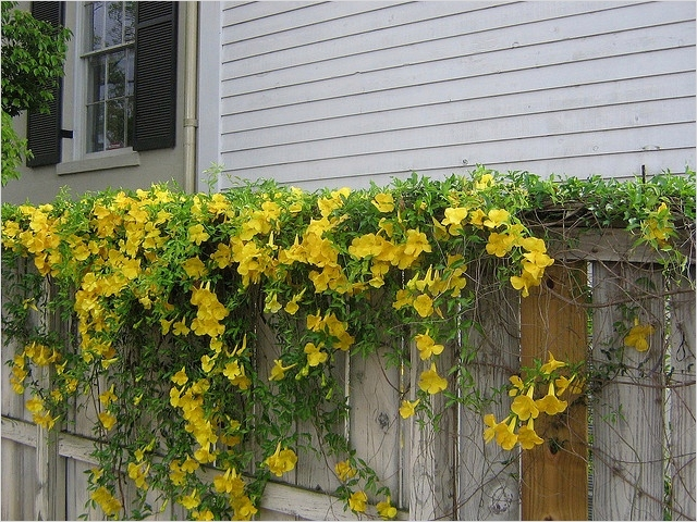 40 Best and Beautiful Climbing Flowers for Fences 15 Privacy Fence with Flowers Flowers and Fences 6