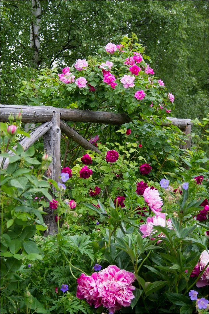 40 Best and Beautiful Climbing Flowers for Fences 53 11 Best Images About Tuin Judith En Barend On Pinterest 8