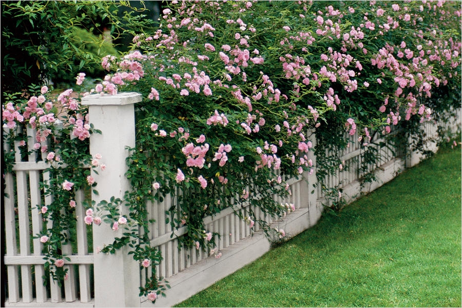 40 Best and Beautiful Climbing Flowers for Fences 43 Climbing Roses Easy Growing Flowers for Fences southern Living 3
