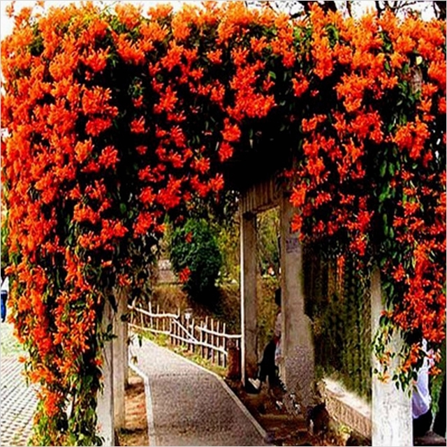 40 Best and Beautiful Climbing Flowers for Fences 47 Aliexpress Buy Climbing Plants Mucuna Wisteria Pyrostegia Saplings Flowers Bamboo Fence 5