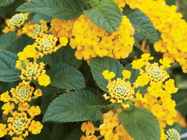 Heat Tolerant Plants