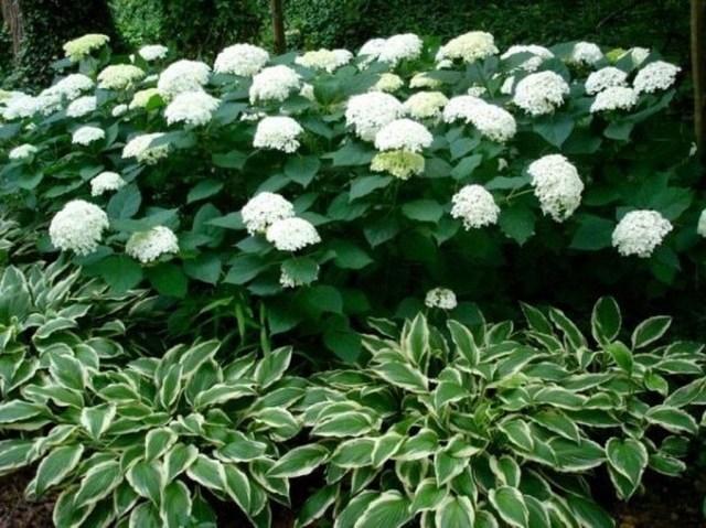 Inspiring Hydrangeas Landscaping Design Ideas To Copy Right Now 28