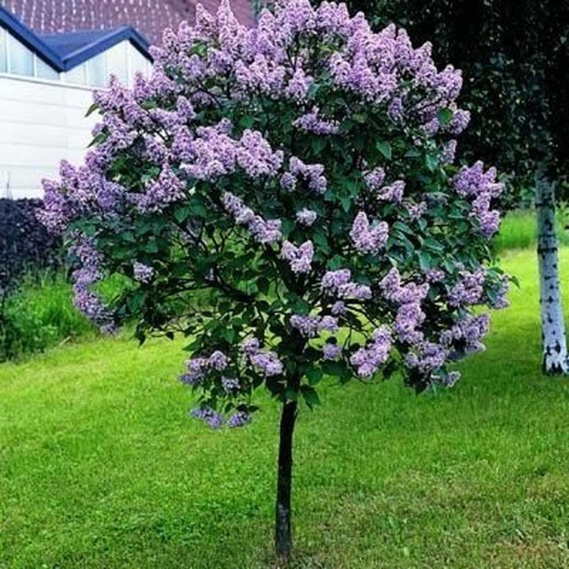 Lovely Flowering Tree Ideas For Home Yard To Copy Now 14
