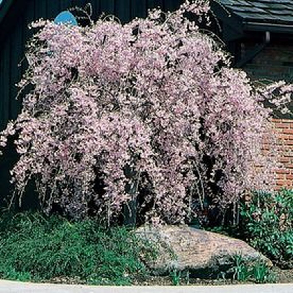 Lovely Flowering Tree Ideas For Home Yard To Copy Now 24
