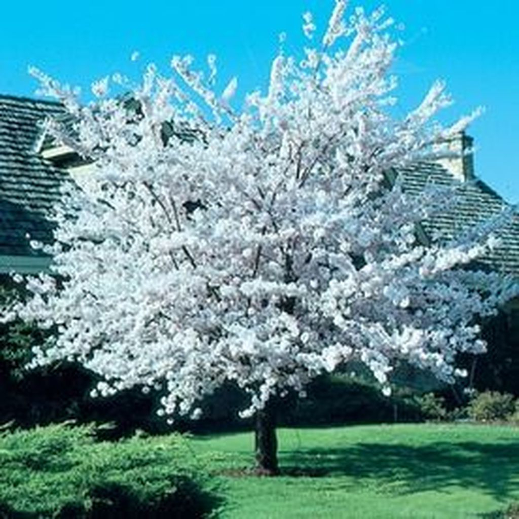 Lovely Flowering Tree Ideas For Home Yard To Copy Now 28