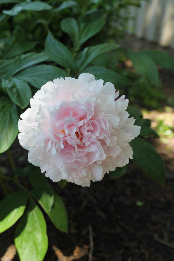 You Can Grow Peonies In Texas Decor To Adore