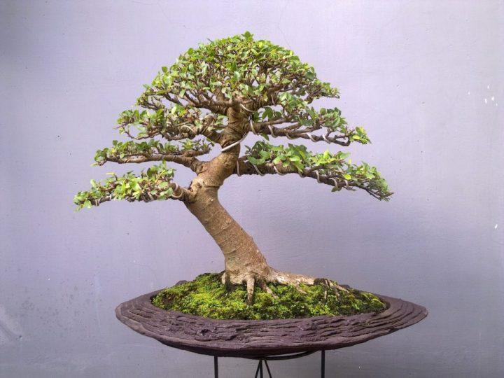 jenis-tanaman-bonsai-loa