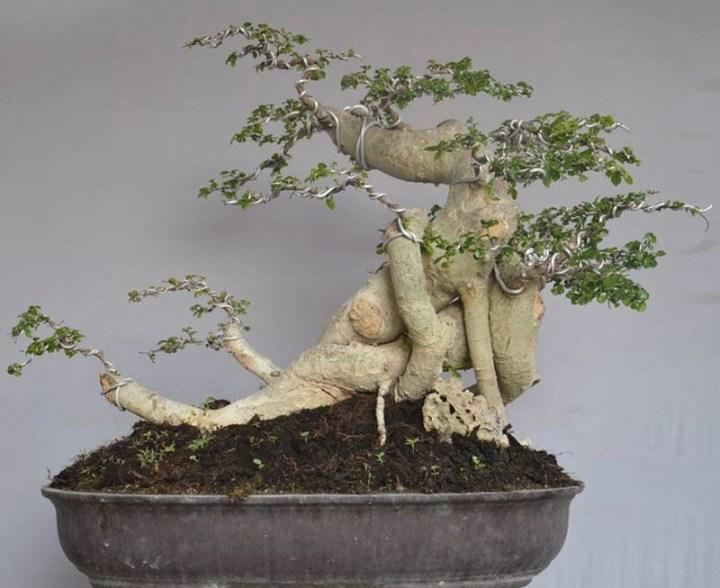 bonsai serut besar