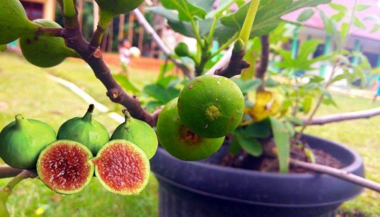 pohon-buah-tin