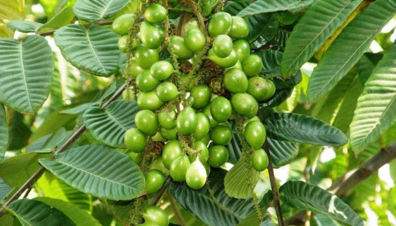 pohon-matoa-berbuah-lebat