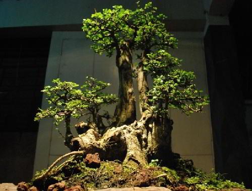 bonsai serut terbalik