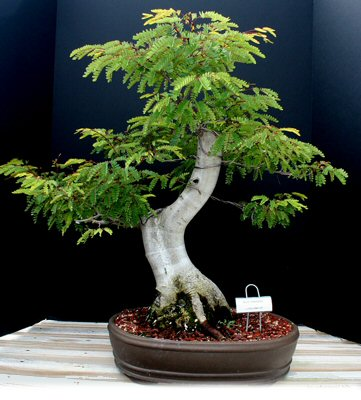 bonsai anting putri mikro