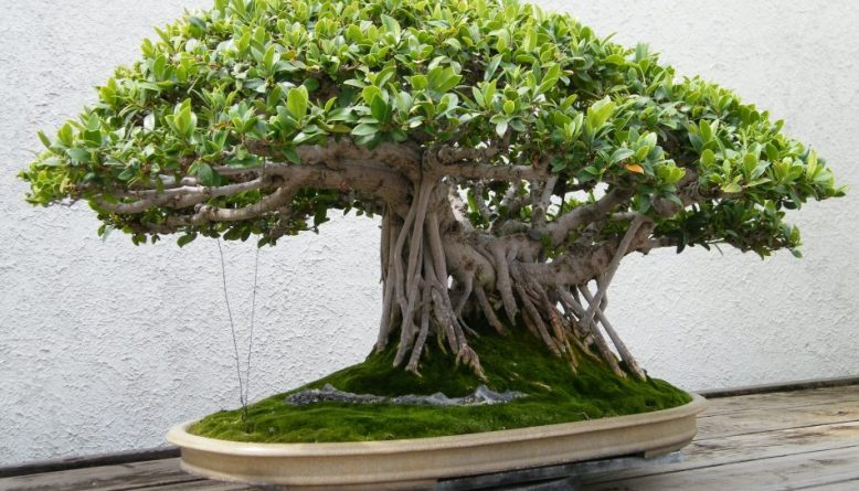 bonsai beringin