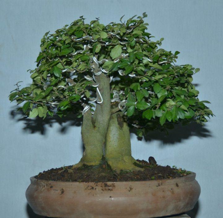 bonsai sisir kaliage