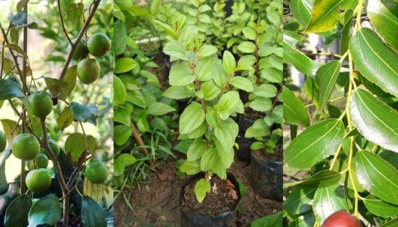 cara-menanam-pohon-bidara