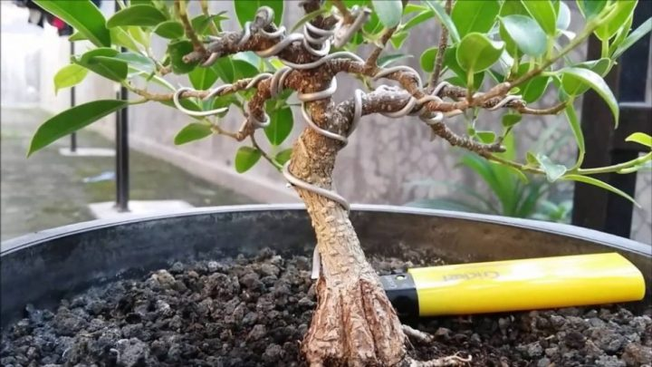 bonsai dolar mini