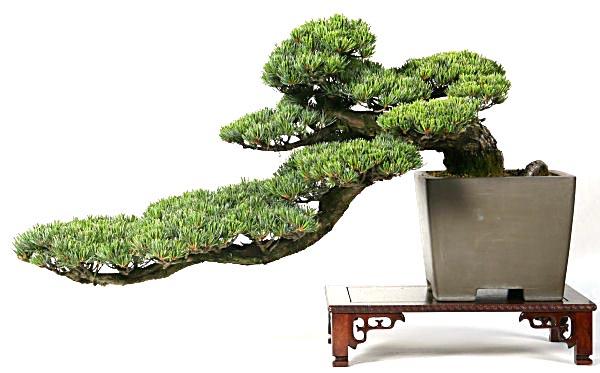gaya bonsai semi cascade style