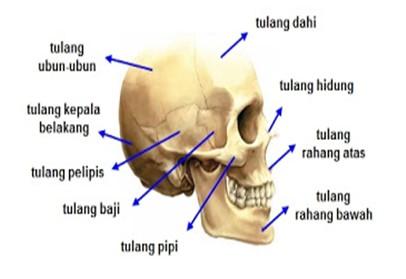 anatomi kepala manusia dan bagian bagiannya