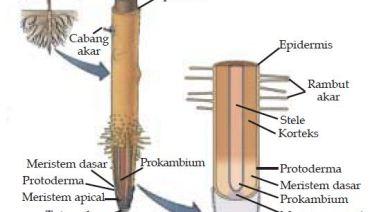 struktur anatomi akar