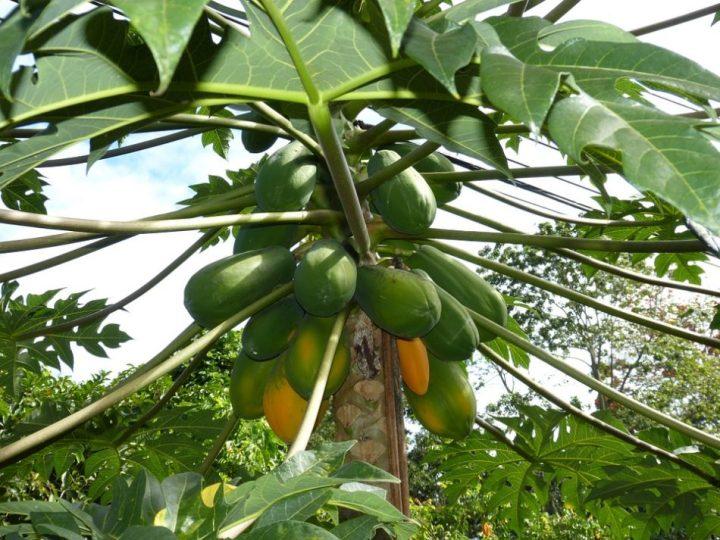 gambar buah pepaya
