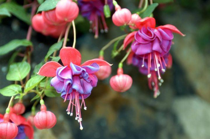 bunga fuchsia