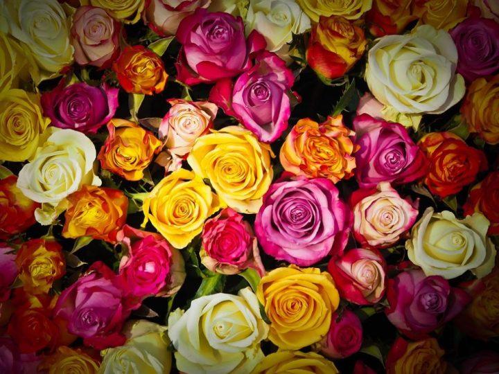 gambar aneka bunga mawar