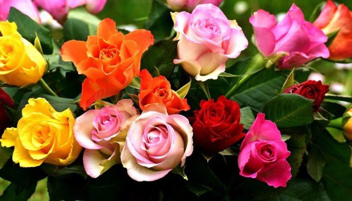 gambar bunga mawar warna warni