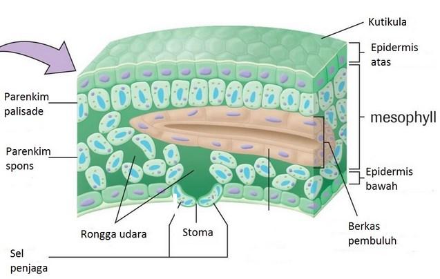 jaringan epidermis daun