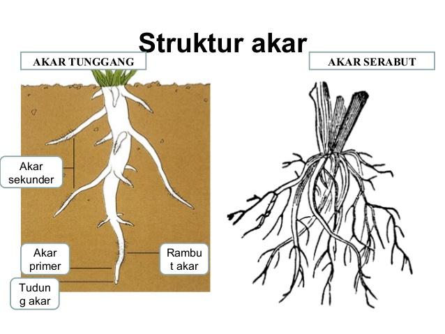 jenis akar