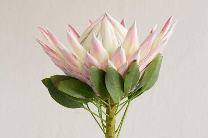 bunga protea