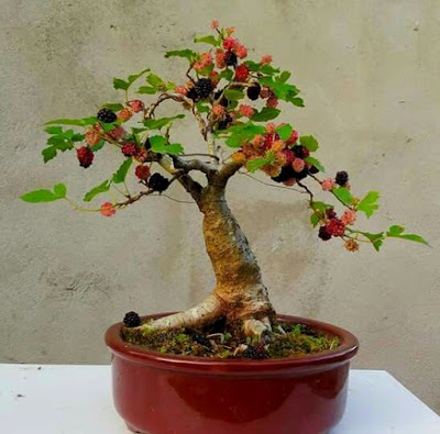 murberry bonsai