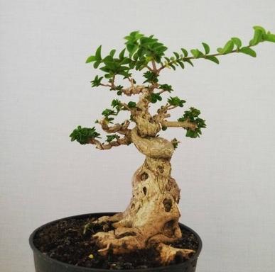 bonsai sancang terbaik