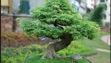 bonsai asem
