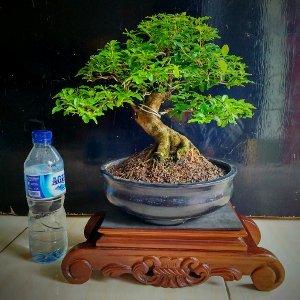 bonsai-legistrum.jpg