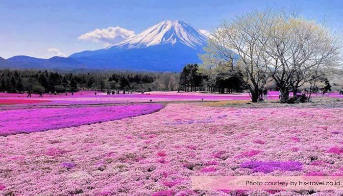 shibazakura festival yamanashi - Menikmati Sakura Jepang Enaknya Kemana? Yamanashi!
