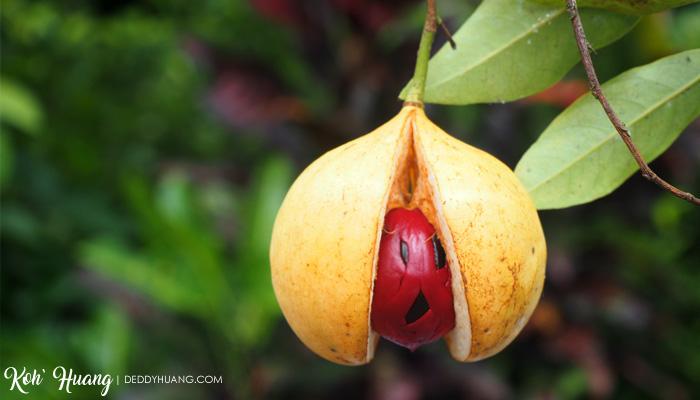 buah pala - Tidore Tempo Dulu, Sekarang dan Masa Depan