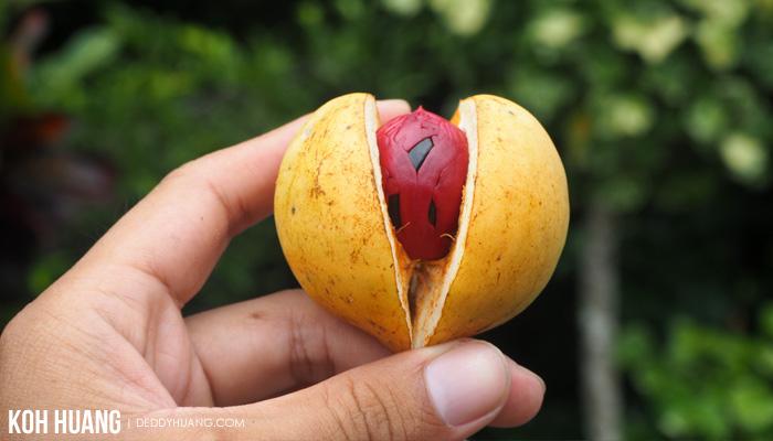buah pala - Agromarine, Solusi Infrastruktur Prioritas Jokowi Bagi Tidore
