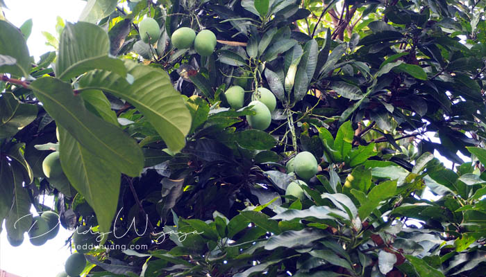 pohon mangga - Antara Solo dan Yogjakarta Kita Jatuh Cinta #JadiBisa