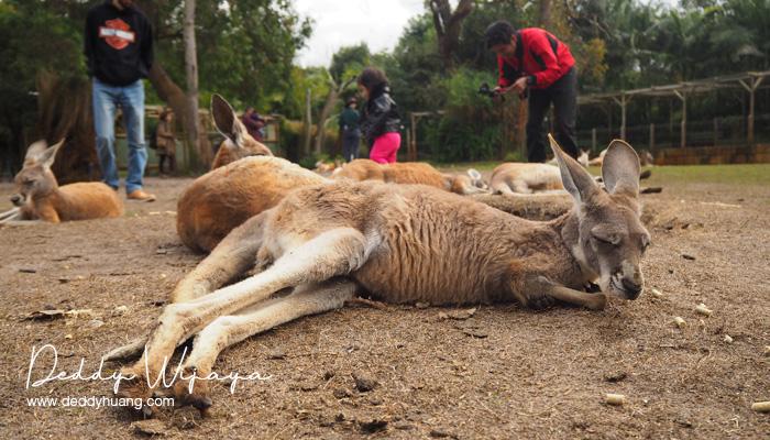 caversham wildlife park 03 - Selfie Bareng Kanguru di Caversham Wildlife Park, Perth