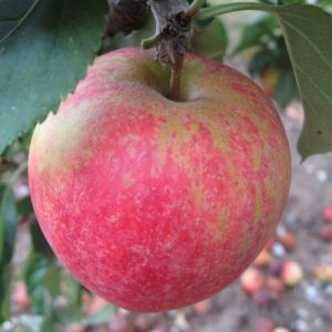 Apple 'George Cave'  (Bareroot)