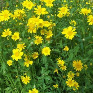 Marigold, Corn