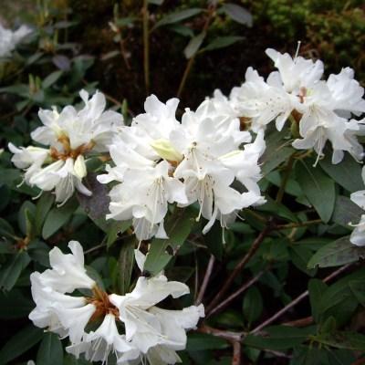 Rhododendron 'Crane'