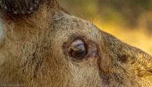 Red Deer close up