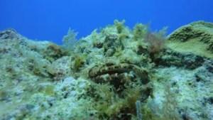 Poisson Scorpion joue à cache-cache dans le récif - plongée en mer dans la Riviera Maya, Mexique