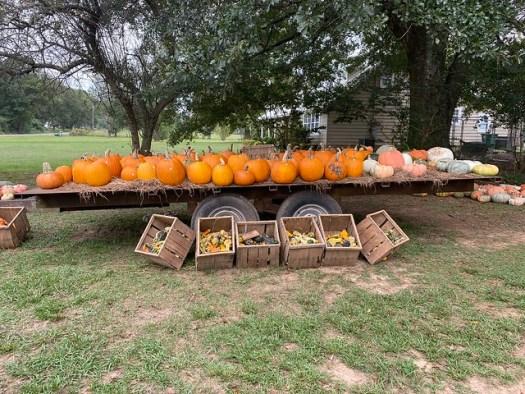 Pumpkins, Cullman Co AL