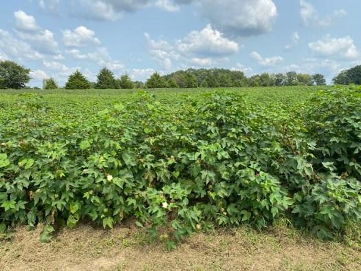 Cotton Field, Danville AL