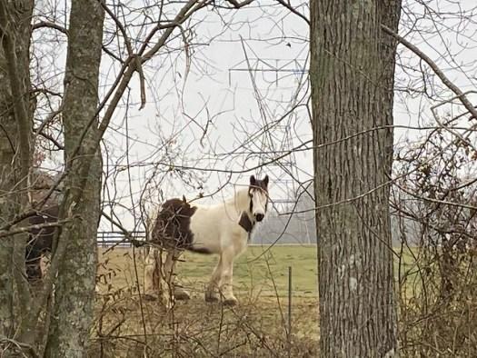 Prob Gypsy Vanner horses