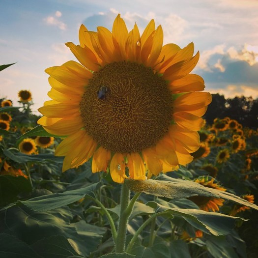 Sunflower. Cullman County AL