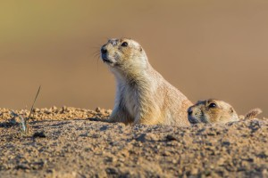 Two beautiful prairie dogs recently poisoned by John Waggoner at the Crowfoot in the Castle Rock Colorado area