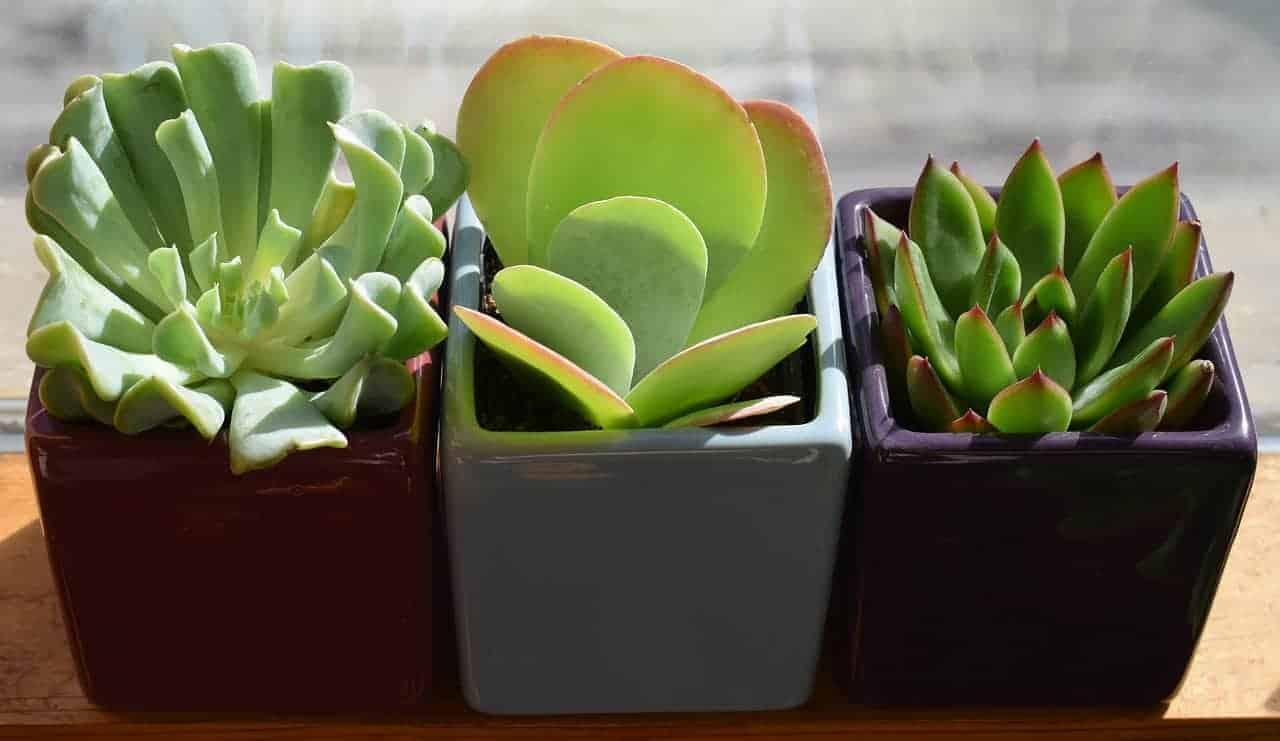 Succulent Trio